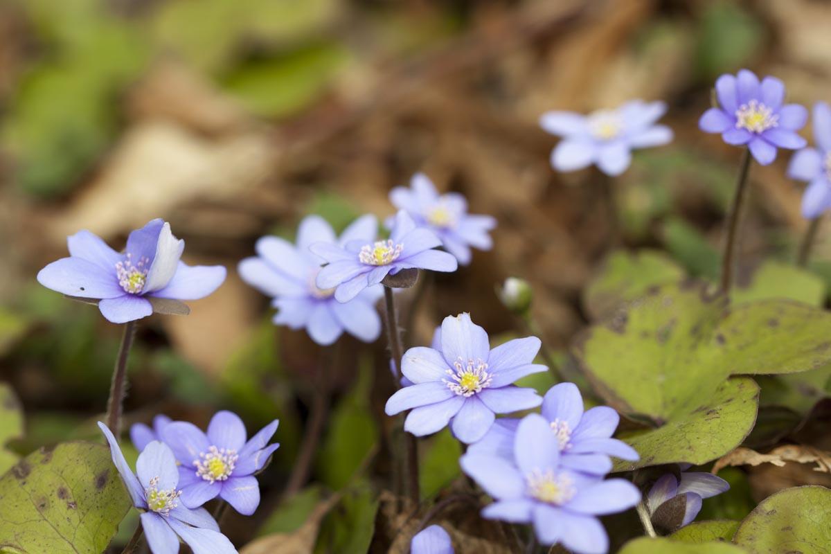 Die seltenen Leberblümchen gedeihen im Striegistal, Foto A. Bieber